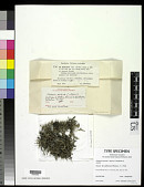 view Cladonia destricta f. adpressa Sandst. ex Anders digital asset number 1
