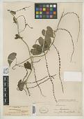 view Dioscorea albicaulis Uline digital asset number 1