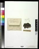 view Hypogymnia intestiniformis (Vill.) Räsänen digital asset number 1