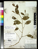 view Capparis richii A. Gray in Wilkes digital asset number 1