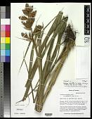 view Guzmania calamifolia var. rosacea J.R. Grant digital asset number 1