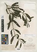 view Phoradendron fonsecanum Kuijt digital asset number 1
