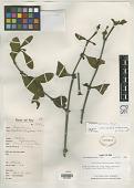 view Phoradendron carnosum Kuijt digital asset number 1