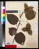 view Passiflora nelsonii Mast. & Rose digital asset number 1