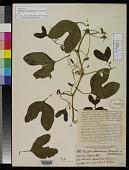 view Passiflora salvadorensis Donn. Sm. digital asset number 1