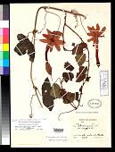 view Tacsonia cyanea var. insignis Sodiro digital asset number 1