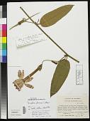 view Passiflora formosa Ulmer digital asset number 1