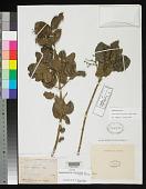 view Vitex ilicifolia A. Rich. in Sagra digital asset number 1
