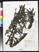 view Pedicularis hintonii McVaugh & Mellichamp digital asset number 1