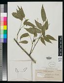 view Dictyoneura philippinensis Radlk. in Elmer digital asset number 1
