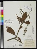view Panopsis metcalfii Killip & Cuatrec. digital asset number 1
