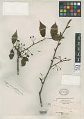 view Prunus conradinae Koehne in Sarg. digital asset number 1
