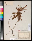 view Biophytum mapirense R. Knuth in Engl. digital asset number 1