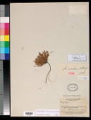 view Biophytum santanderense R. Knuth in Engl. digital asset number 1