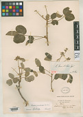 view Oxalis loxensis R. Knuth digital asset number 1