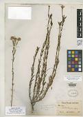 view Menodora longiflora A. Gray digital asset number 1