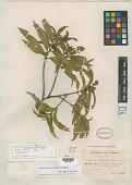 view Miconia basilensis Urb. & Ekman digital asset number 1