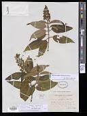 view Miconia coniophora Urb. & Ekman digital asset number 1
