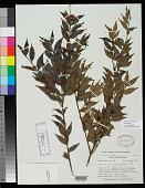 view Calycolpus roraimensis Steyerm. digital asset number 1