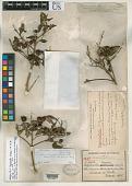view Calyptranthes tonduzii Donn. Sm. digital asset number 1
