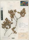 view Eugenia acutiflora Kiaersk. digital asset number 1