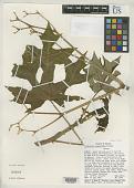 view Cnidoscolus megacanthus Breckon digital asset number 1