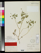 view Phacelia covillei S. Watson in A. Gray digital asset number 1