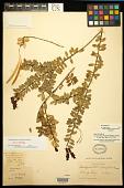 view Aeschynanthus buxifolius Hemsl. digital asset number 1