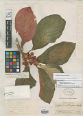 view Alloplectus ichthyoderma f. rubescens C.V. Morton digital asset number 1