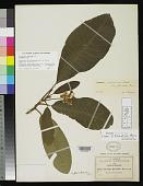 view Saurauia pseudopringlei var. fluviatilis Buscal. digital asset number 1