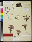 view Ipomoea grayi Rose digital asset number 1