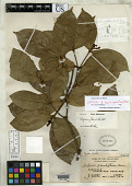 view Kopsia grandiflora Merr. digital asset number 1