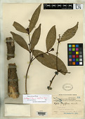 view Kopsia longiflora Merr. digital asset number 1