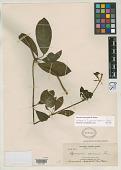 view Aganosma apoensis Elmer digital asset number 1