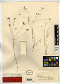 view Leibergia orogenioides J.M. Coult. & Rose digital asset number 1