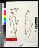 view Eulophus parishii var. rusbyi J.M. Coult. & Rose digital asset number 1