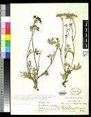 view Ligusticum calophlebicum H. Wolff digital asset number 1