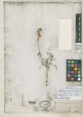view Peucedanum bicolor S. Watson & C. King in C. King digital asset number 1