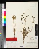 view Peucedanum sandbergii J.M. Coult. & Rose digital asset number 1