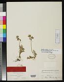 view Peucedanum watsonii J.M. Coult. & Rose digital asset number 1