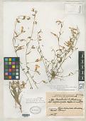 view Convolvulus valentinus var. adpressipilis Maire & Wilczek digital asset number 1