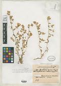 view Convolvulus supinus var. atrichogynus Maire & Wilczek digital asset number 1