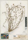 view Convolvulus deserti Hochst. & Steud. ex Baker & Rendle in Dyer digital asset number 1