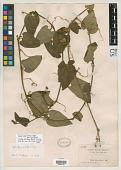 view Cyclanthera rusbyi Britton digital asset number 1