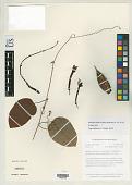 view Passiflora balbis Feuillet digital asset number 1