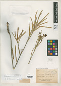 view Evonymus linearifolia Franch. digital asset number 1