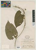 view Thladiantha borneensis Merr. digital asset number 1