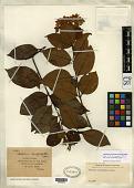 view Melodinus brachyphyllus Merr. digital asset number 1