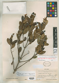 view Alyxia stellata f. magnacarpa F. Br. digital asset number 1
