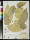 view Phyllanthus mutisianus G.L. Webster digital asset number 1